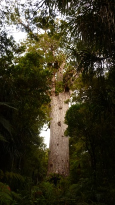 Chris stands in front of Tane Mahuta, the tallest Kauri Tree