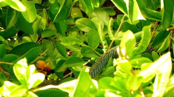 Part of a very long snake in the resort bushes