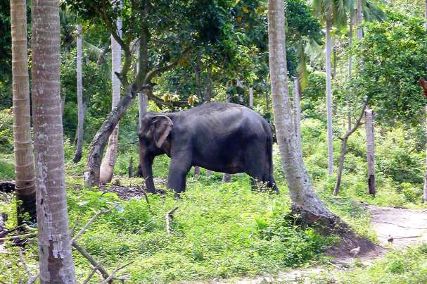A work elephant we passed on our way to the hospital