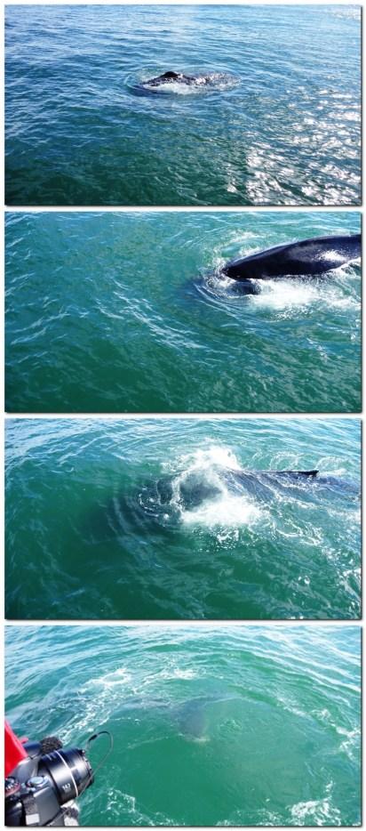 Whale-watching in Húsavík
