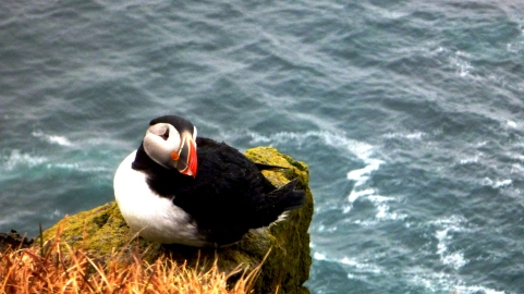 Puffin nesting on the Látrabjarg cliff