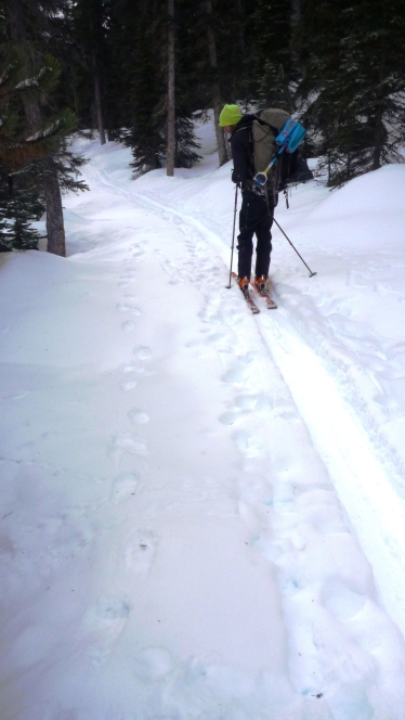 Cougar tracks running parallel to the ski trail