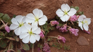 Blooming desert flowers